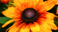 Plant of the Week: Rudbeckia