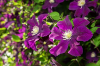 Planting Clematis