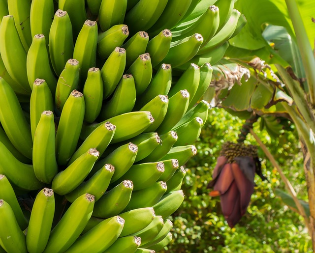 What to do with the banana plant?