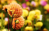Dahlias in the winter, what to do?