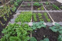 It's not too late to be sowing more veg for your plot