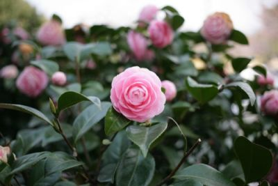 Looking after your Camellias