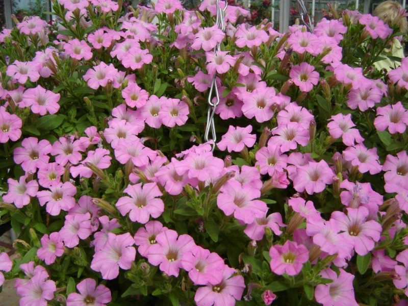 Plant Of The Week Petunia Thirsk, Bedding Plant Pink Flower