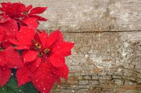 Plant of the Week: Poinsettia