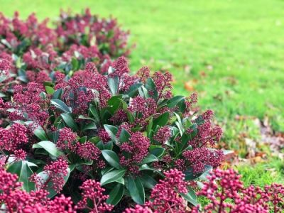 Plant of the Week: Skimmia