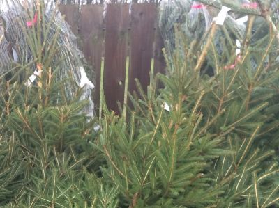 Real Christmas Trees at Thirsk Garden Centre